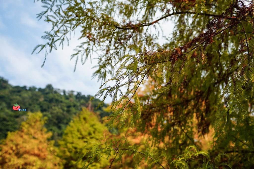苗栗南庄景點 落羽松 雲水渡假森林 可泡湯住宿