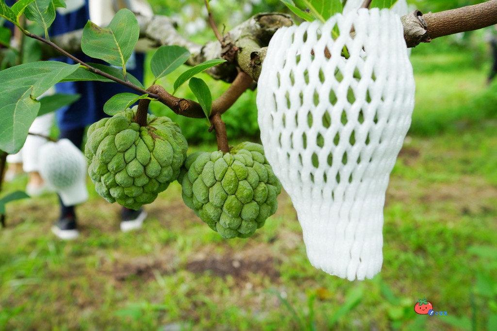 【台東這樣玩】DAY2 釋迦採果 洛神採收 台東糖廠DIY手作織布 園藝體驗