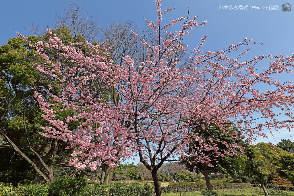 2016.03.11~日本名古屋城 櫻花